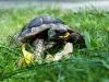 Förster Schildkröte