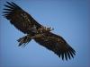 Spanring Adler