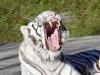 steinschaden-weisser-tiger