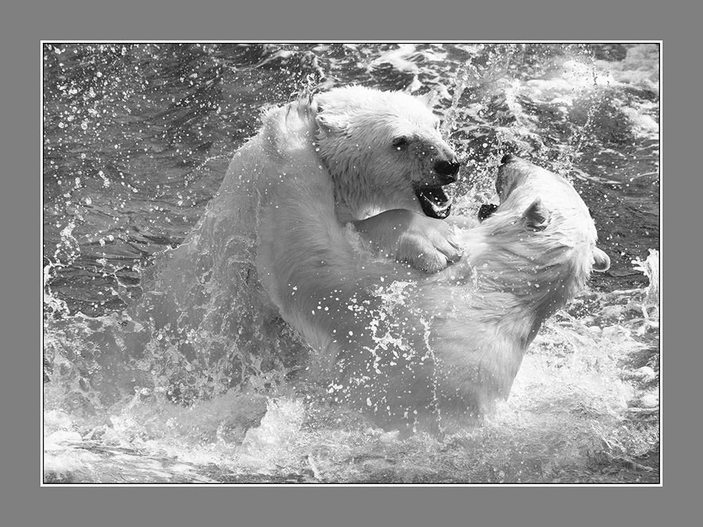 Robert Nykodym - Spielende Eisbären
