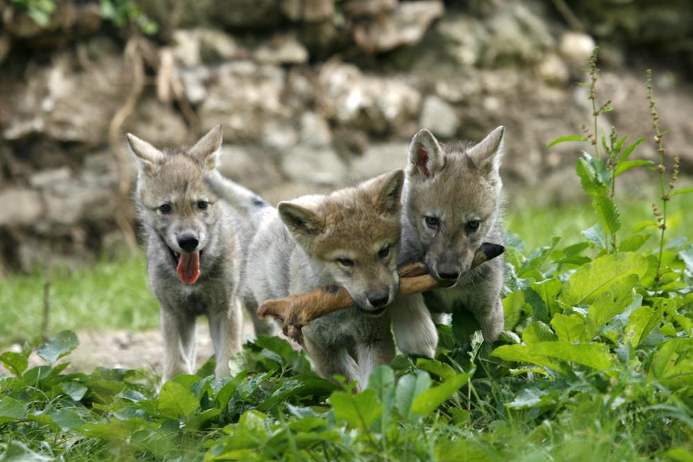Peter Kaut - junge Wölfe